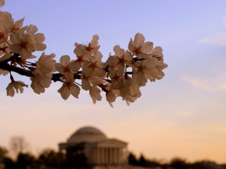 U.S. Capitol during cherry blossom season represents the idea of government innovation